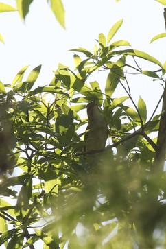 Cedar Waxwing.jpg