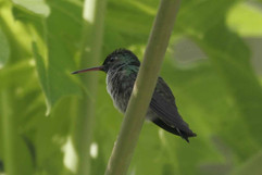 Scaly-breasted Hummingbird.jpg