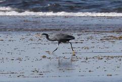 Western Reef Heron (Black Phase).jpg