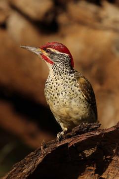 Nubian Woodpecker.jpg