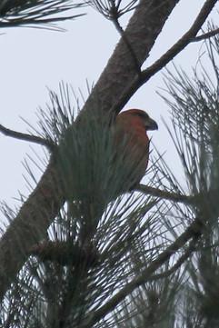 Parrot Crossbill.jpg