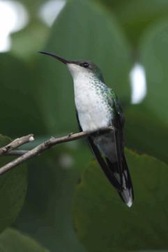 White Bellied Emerald Hummingbird (f).jp
