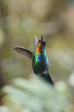 Fiery-throated Hummingbird E.jpg