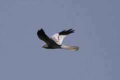 Montagu's Harrier.jpg