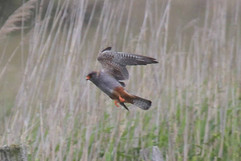 Red Footed Falcon.jpg