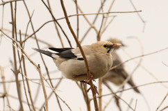 Wattled Starling (juv).jpg