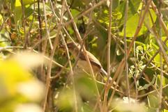 Icterine warbler.jpg