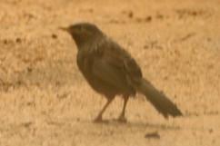 Indian Blackbird - record shot.jpg
