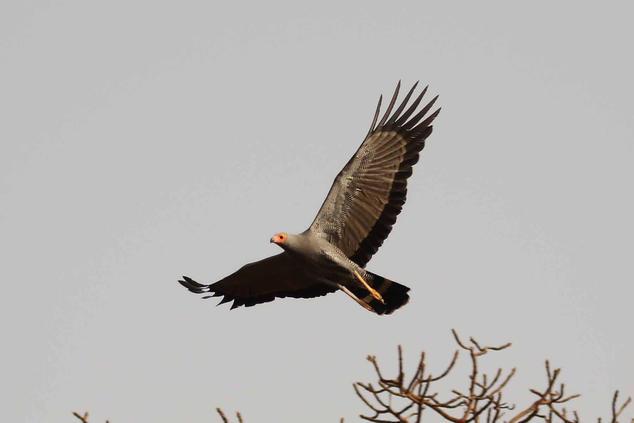 African harrier Hawk - angry.jpg