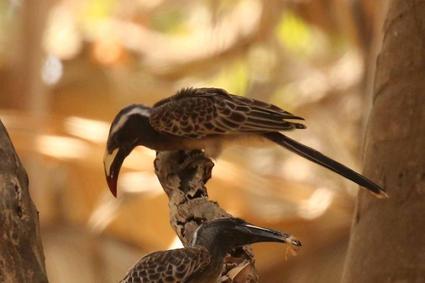 African grey hornbill (f).jpg