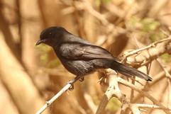 Northern black flycatcher.jpg