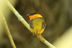 Orange-collared Manakin E.jpg