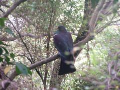 New Zealand Pigeon.jpg