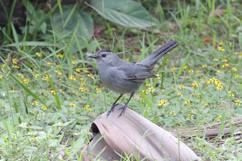 Gray Catbird .jpg