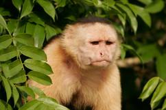Cappacino Monkey.jpg