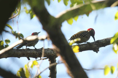 Hispaniolan Woodpecker (f & Imm).jpg