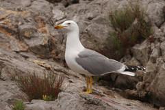 Yellow Legged Gull.jpg