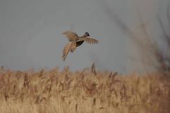 Pheasant (f).jpg
