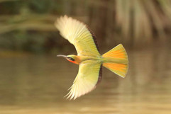 Red throated Bee eater (2).jpg