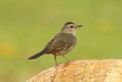 Gray Catbird (imm).jpg