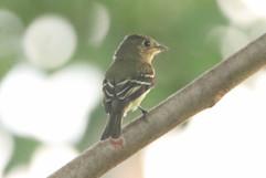 Yellow bellied Flycatcher .jpg