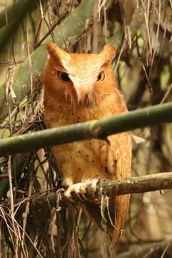 Seredib Scops Owl E.jpg