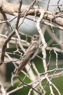 Northern Rough winged Swallow .jpg