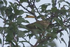 Yellow Browed Warbler.jpg