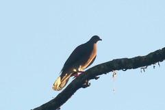 Short-billed Pigeon.jpg