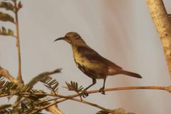 Scarlet chested sunbird (f).jpg