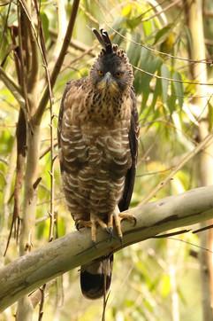 Legges Hawk Eagle.jpg