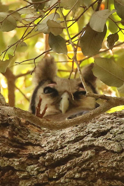 Verreauxs Eagle Owl juv.jpg