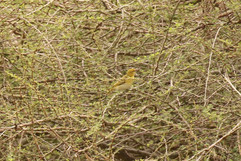 Lesser Masked Weaver (f).jpg