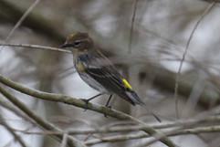 Yellow Rumped Warbler fem.jpg