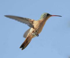 Cinnamon Hummingbird.jpg