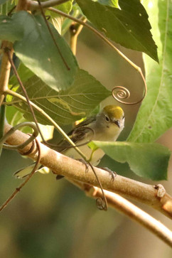 Chestnut sided Warbler (imm) .jpg