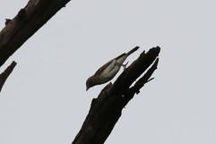 Dusky Flycatcher.jpg