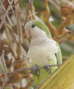 Monk Parakeet.jpg