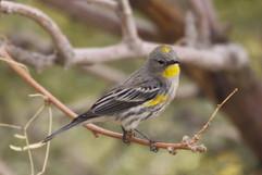 Yellow Rumped Warbler.jpg
