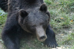 Brown Bear (Carpathian) (3).jpg