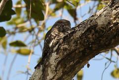 Lesser Nighthawk (f).jpg