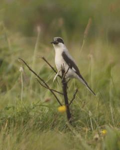 Lesser Grey Shrike.jpg