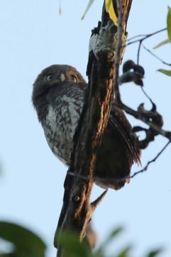 Chestnut-backed Owlet E.jpg