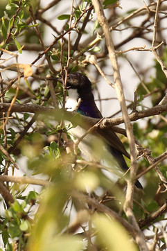 Eastern Violet-backed Sunbird.jpg