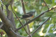 Amercan Redstart (imm).jpg