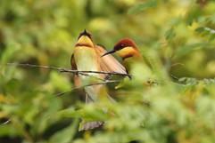 Chestnut-headed Bee-eaters.jpg