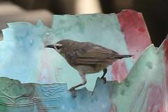 Brown Sunbird.jpg