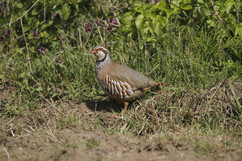 Red Legged Partridge.jpg