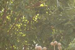 Brown necked parrot- terrible record sho