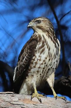 Sharp Shinned Hawk.jpg